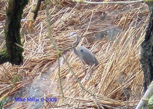 Heron by Santa Rosa Creek