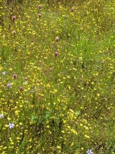 Wildflower Meadow at Healdsburg Ridge