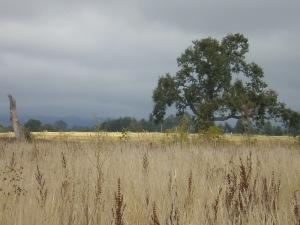 Laguna de Santa Rosa meadow with oak