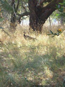Wild Turkey in Sugarloaf Ridge