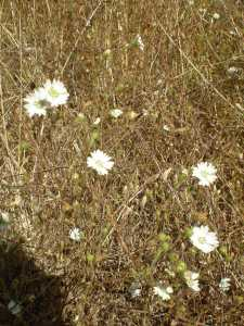 White Flower at Sugarloaf Ridge