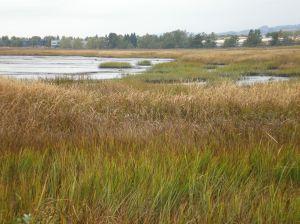 Gray's Marsh near Petaluma River