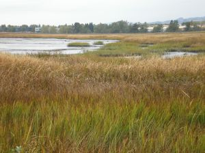 Gray's Marsh near Petaluma River