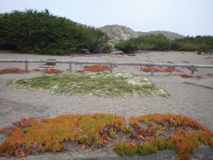 Picnic area and ice plant Bodega Dunes