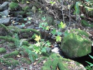 Bartholomew Park heavy moss on rocks and roots