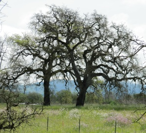 Meadows and Oaks - Sebastopol Rodota Trail