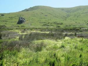 Meadowfoam at Kortum Trail