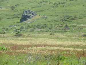 Rattlesnake Grass and Sheep Sorrel - Kortum Trail