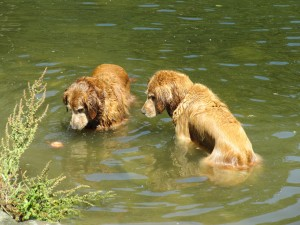 Retrievers stare