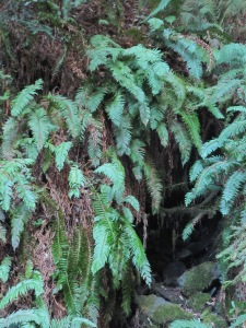 Ferns at Willow Creek