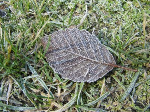 Frosty leaf at Willow Creek