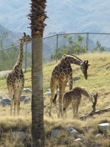 Giraffes at Living Desert