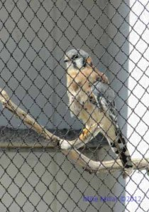 Kestral at Wildlife Center Suisun City