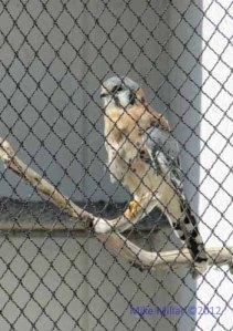 Kestral at Wildlife Center Suisun City