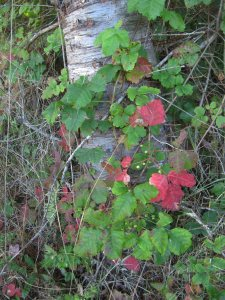 Poison Oak in Fall