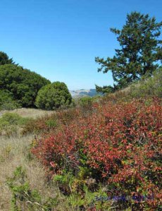 Poison Oak Meadow above Pomo Canyon