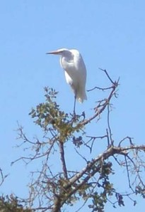 Egret at Roseland Creek