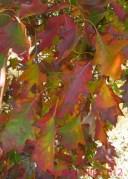 Fall Color Oak