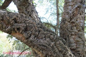 Cork Oak at Roseland Creek