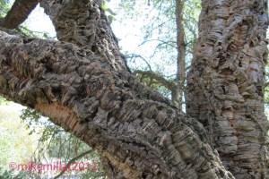 Cork Oak at Roseland Creek