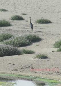 Blue Heron at Half Moon Bay