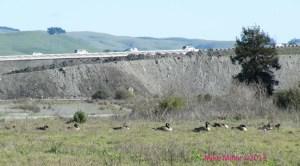 Geese at Steamer Landing