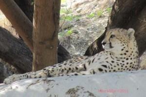 Living Desert Cheetah