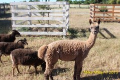 Colgan Creek Alpaca and Goats