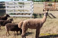 Colgan Creek Alpaca and Goats