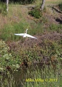 Colgan Creek egret