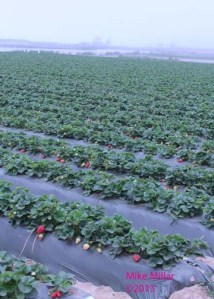 Moss Landing strawberry field