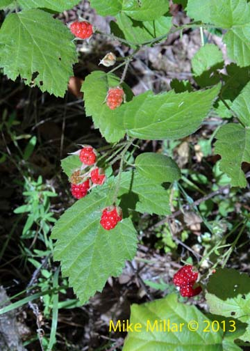 Healdsburg Ridge Berries