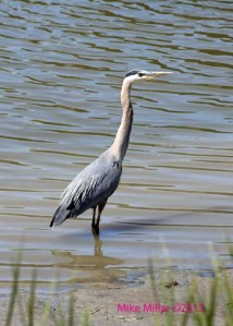 Blue Heron wading in the Petaluma River