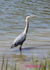 Blue Heron wading in the Petaluma River