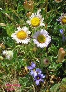 Seaside Daisies and Blue-eyed Grass