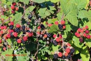 Taylor Mtn Blackberries