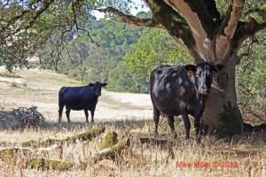 Taylor Mountain Cows