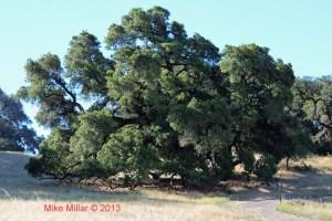 Taylor Mountain Oak