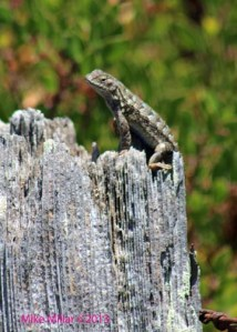Lizard at Alman Marsh