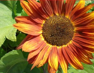 Sunflower among the squash