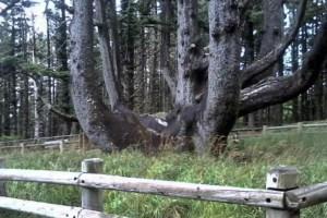 Sitka Spruce Octopus Tree