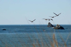 Brown Pelicans at Goat Rock