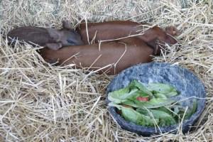 Shone Farm piggies
