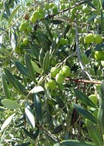 Shone Farm Olives