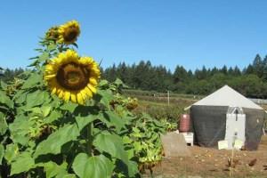 Shone Farm Sunflower and field