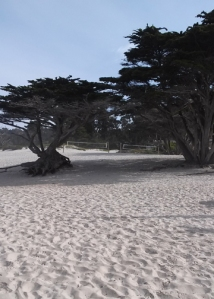Carmel beach pines