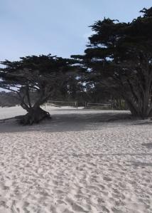 Carmel beach pines