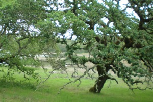 Foothill oaks and reservoir