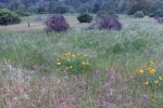 Garland meadow lupine poppy