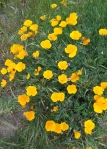 Garland Ranch poppies